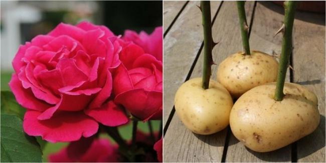 http://www.jardiner-malin.fr/fiche/bouturage-rosier.html
